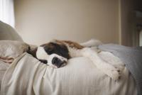 Saint Bernard lying on bed at home 11100061979| 写真素材・ストックフォト・画像・イラスト素材|アマナイメージズ