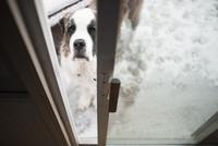 High angle portrait of Saint Bernard on snow covered field seen through window 11100061991| 写真素材・ストックフォト・画像・イラスト素材|アマナイメージズ