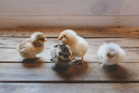High angle view of baby chickens standing on wooden table 11100062030| 写真素材・ストックフォト・画像・イラスト素材|アマナイメージズ