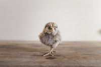 Close-up portrait of baby chicken standing on wooden table 11100062031| 写真素材・ストックフォト・画像・イラスト素材|アマナイメージズ