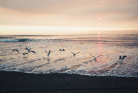Seagulls flying over sea against sky at Redwood National Park during sunset 11100062050| 写真素材・ストックフォト・画像・イラスト素材|アマナイメージズ