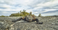 Portrait of marine Iguana crawling on rock against cloudy sky