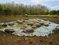 Giant tortoises in swamp 11100062393| 写真素材・ストックフォト・画像・イラスト素材|アマナイメージズ
