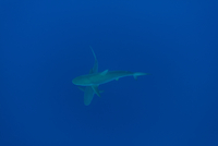 Sharks swimming undersea