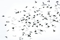 Digital composite image of silhouette birds flying with shadows on white background 11100062502| 写真素材・ストックフォト・画像・イラスト素材|アマナイメージズ