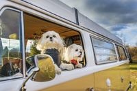 Shih Tzu looking through window while traveling in motor home 11100062512| 写真素材・ストックフォト・画像・イラスト素材|アマナイメージズ