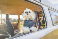 Shih Tzu standing by window while traveling in motor home 11100062513| 写真素材・ストックフォト・画像・イラスト素材|アマナイメージズ