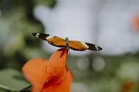 Close-up of Isabella's longwing on hibiscus 11100062539| 写真素材・ストックフォト・画像・イラスト素材|アマナイメージズ