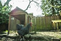 Chicken walking on field in farm