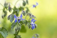 Close-up of starflowers blooming outdoors 11100062595| 写真素材・ストックフォト・画像・イラスト素材|アマナイメージズ