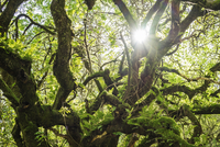 Low angle view of moss covered branches during sunny day 11100062610| 写真素材・ストックフォト・画像・イラスト素材|アマナイメージズ
