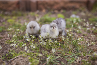 Close-up of baby chickens on field