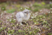 Close-up of baby chicken on field
