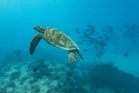 Turtle and fish swimming in sea