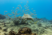 Turtle and fish swimming undersea