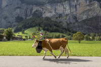 Side view of cow wearing flowers and bell while walking on road by mountain 11100062753| 写真素材・ストックフォト・画像・イラスト素材|アマナイメージズ