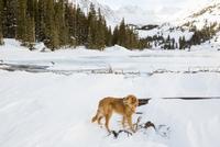 Golden Retriever on snow covered field 11100064032| 写真素材・ストックフォト・画像・イラスト素材|アマナイメージズ