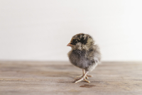 Close-up of baby chicken on wooden table against wall 11100064317| 写真素材・ストックフォト・画像・イラスト素材|アマナイメージズ