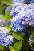 Close-up of hydrangeas blooming in garden 11100064937  写真素材・ストックフォト・画像・イラスト素材 アマナイメージズ