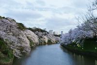 River amidst cherry blossom trees at Chidorigafuchi against sky 11100067112| 写真素材・ストックフォト・画像・イラスト素材|アマナイメージズ