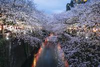 Cheery blossoms at Meguro river during dusk 11100067132| 写真素材・ストックフォト・画像・イラスト素材|アマナイメージズ