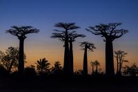 Avenue of the Baobabs, African baobab (Adansonia digitata)