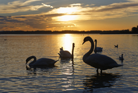 Mute swans (Cygnus olor), evening mood at Lake Chiemsee, in