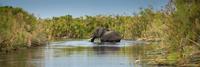 An African Elephant (Loxodonta africana) crossing a marsh 11102000628| 写真素材・ストックフォト・画像・イラスト素材|アマナイメージズ