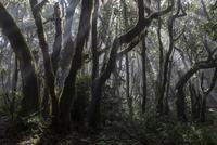 Cloud forest, laurel forest, Garajonay National Park 11102001071| 写真素材・ストックフォト・画像・イラスト素材|アマナイメージズ