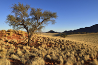 Acacia tree at NamibRand Nature Reserve, Namib Desert