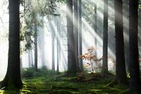 Rays of sunlight shining through trees in fog, spruce 11102001850  写真素材・ストックフォト・画像・イラスト素材 アマナイメージズ