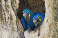 Hyacinth Macaws (Anodorhynchus hyacinthinus), pair, in its 11102001888| 写真素材・ストックフォト・画像・イラスト素材|アマナイメージズ