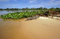 Yacare caiman (Caiman Yacare, Caiman crocodilus yacare)