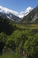 Lupins in flower below Aoraki (Mount Cook), 3755m, the highest peak in New Zealand, Te Wahipounamu , Aoraki (Mount Cook) Nationa