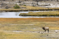 Bull elk near Firehole River, Yellowstone National Park