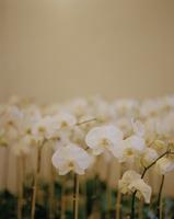 White flowers 11107004305| 写真素材・ストックフォト・画像・イラスト素材|アマナイメージズ