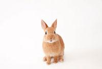 白バックのウサギ