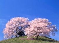 桜の白石稲荷山古墳