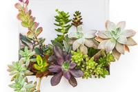 多肉植物 28056003941  写真素材・ストックフォト・画像・イラスト素材 アマナイメージズ