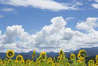 ヒマワリ畑と積乱雲