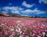 コスモス畑 28144000854| 写真素材・ストックフォト・画像・イラスト素材|アマナイメージズ