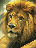 ライオン 28144002423| 写真素材・ストックフォト・画像・イラスト素材|アマナイメージズ