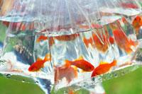 ビニール袋に入った金魚 28144007044| 写真素材・ストックフォト・画像・イラスト素材|アマナイメージズ