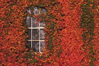 ツタに覆われた壁と窓 28144007871| 写真素材・ストックフォト・画像・イラスト素材|アマナイメージズ