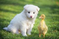 子犬とアヒルの子