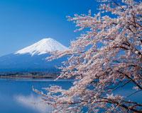 桜咲く河口湖と富士山