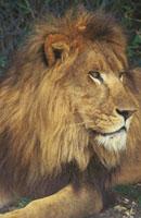 ライオン 28144011658| 写真素材・ストックフォト・画像・イラスト素材|アマナイメージズ
