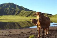 草千里の牛の放牧 阿蘇