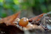 クヌギの実 28144016612| 写真素材・ストックフォト・画像・イラスト素材|アマナイメージズ