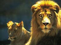 ライオン 28144025565| 写真素材・ストックフォト・画像・イラスト素材|アマナイメージズ